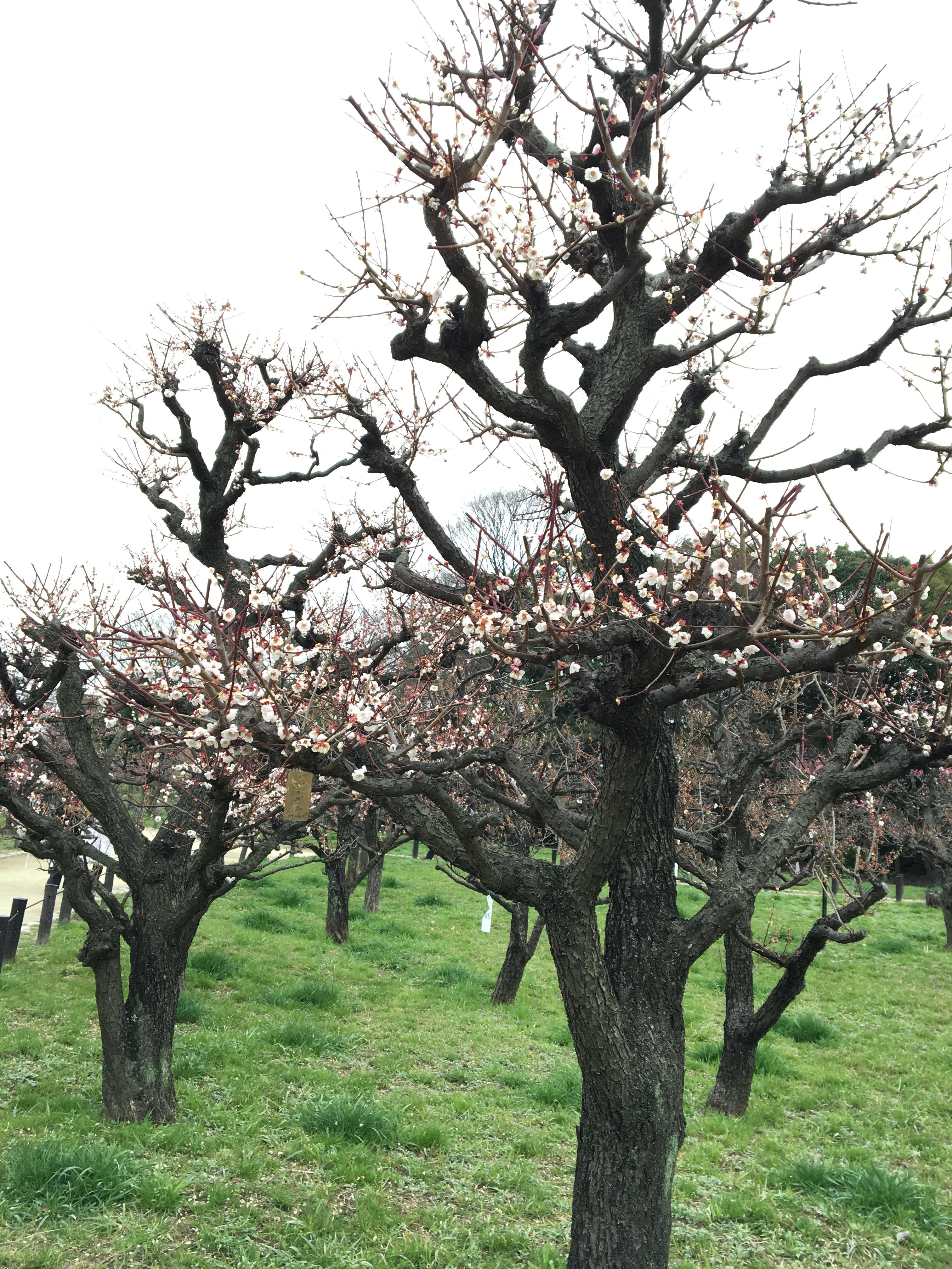 IMG 3433 - 大阪城の梅を観るつもりが・・・櫓(やぐら)めぐり